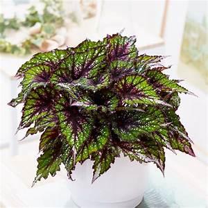 plante-dinterieur-feuilles-rouge